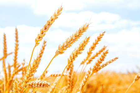 Gold wheat field and blue sky Stock Photo - 17313641