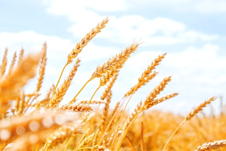 Gold wheat field and blue sky Stock Photo - 17313640