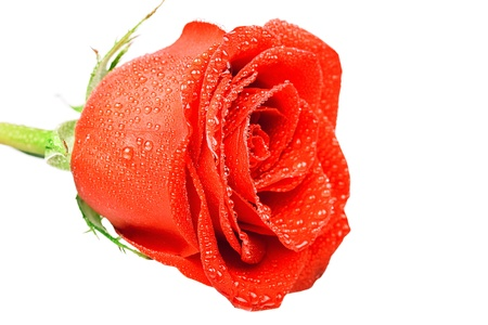 Red rose with water drop on the white background Stock Photo - 17313648