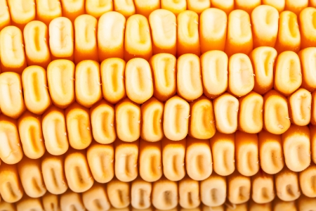 Corn close-up Stock Photo - 17890598