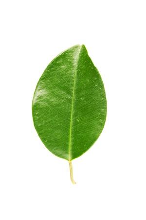 Green leaf Stock Photo - 17890623