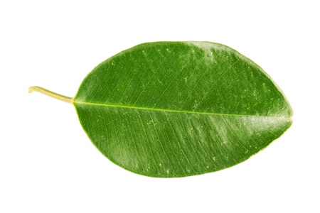 Green leaf Stock Photo - 17890560