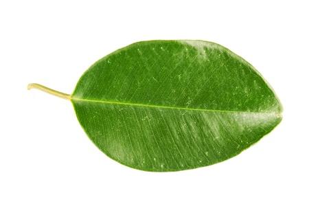 Green leaf Stock Photo - 17890560
