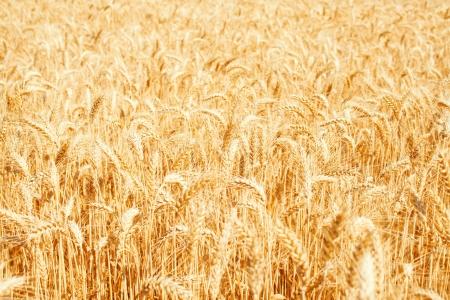 Gold wheat field Stock Photo - 19021566