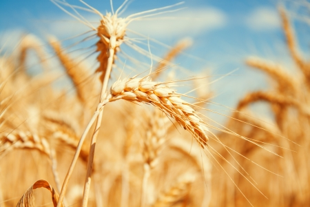 Gold wheat field and blue sky Stock Photo - 19021554