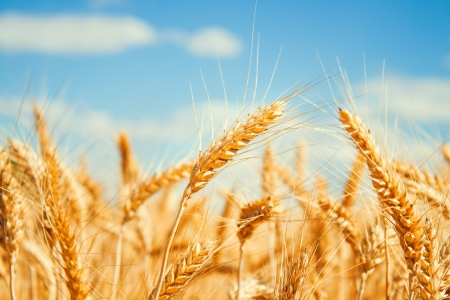 Gold wheat field and blue sky Stock Photo - 19021557