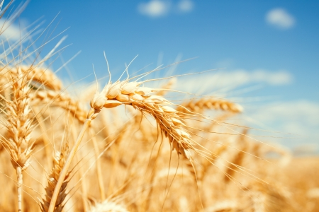 Gold wheat field and blue sky Stock Photo - 19021567