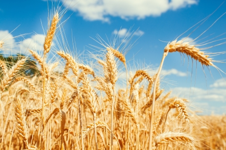 Gold wheat field and blue sky Stock Photo - 19021563
