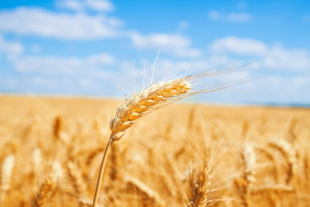 Gold wheat field and blue sky Stock Photo - 19021565