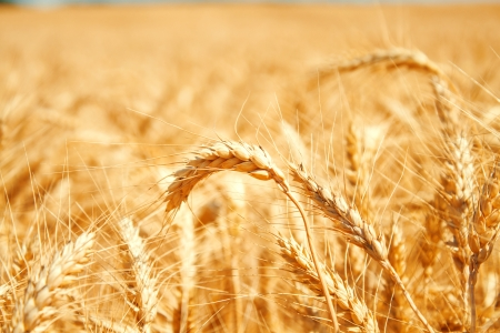 Gold wheat field Stock Photo - 19021558