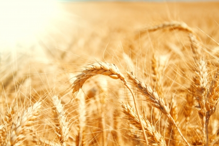 Gold wheat field Stock Photo - 19021556