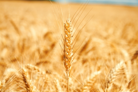 Gold wheat field Stock Photo - 19021568