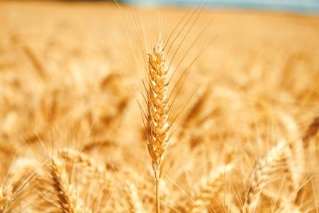 Gold wheat field Stock Photo - 19021568