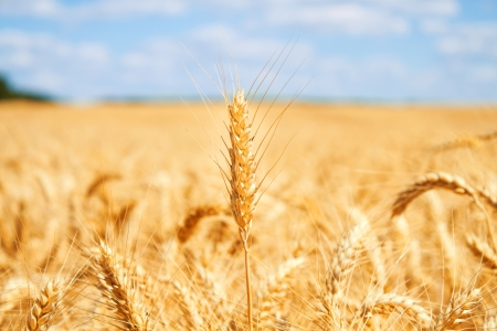 Gold wheat field and blue sky Stock Photo - 19021569