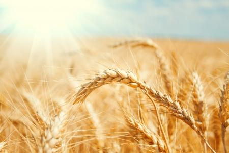 cosecha de trigo: Campo de trigo de oro y cielo azul