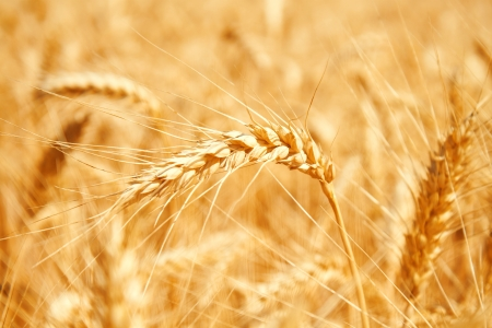 Gold wheat field Stock Photo - 19021555