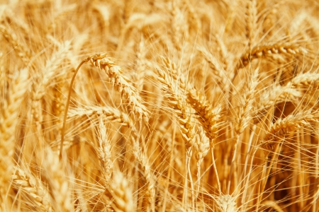 Gold wheat field Stock Photo - 19021560