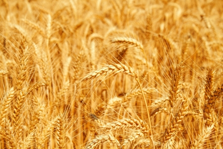 wheat fields: Gold wheat field