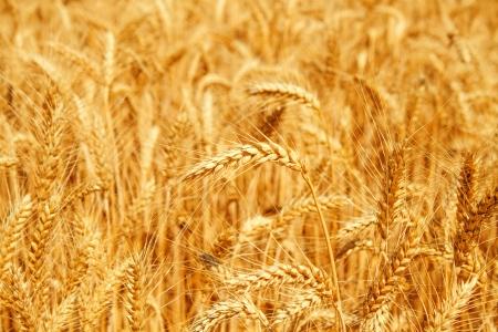 Oro campo de trigo