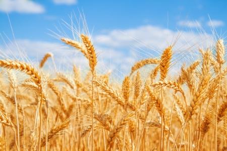 ear corn: Campo de trigo de oro y cielo azul