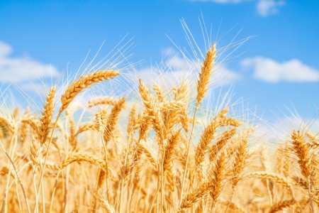 Gold wheat field and blue sky Stock Photo - 19021562