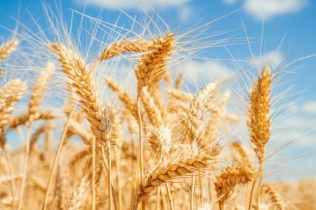 wheat crop: Campo de trigo de oro y cielo azul