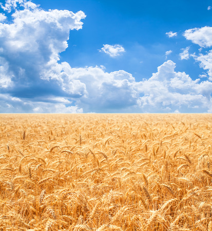 Gold wheat field and blue sky Stok Fotoğraf