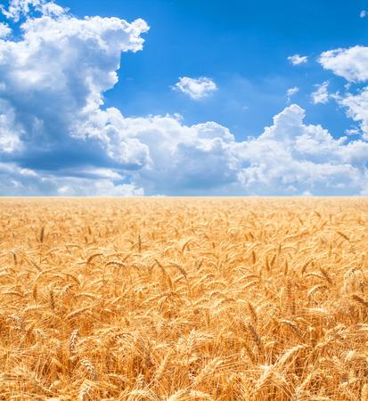 Gold wheat field and blue sky Zdjęcie Seryjne