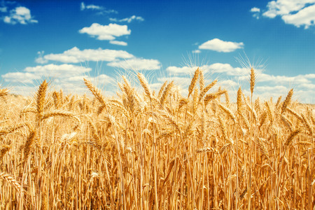 Gold wheat field and blue sky Banque d'images