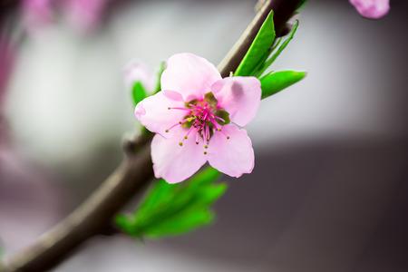 arbol de manzanas: Hermosa flor de durazno. El enfoque suave Foto de archivo