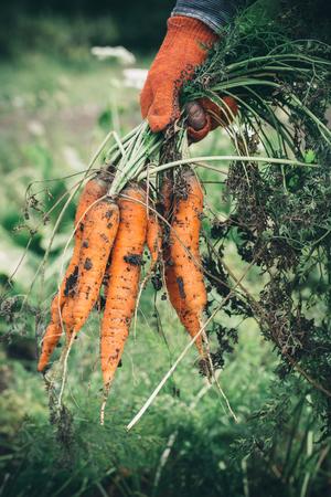 zanahoria: cosecha zanahorias. Mano femenina con los manojos de zanahorias con las tapas.