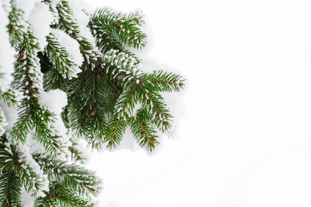 evergreen trees: Fir branch on snow Stock Photo