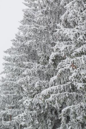 frigid: Foggy winter landscape with firs