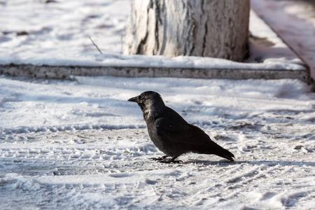 zwarte: Common raven (Corvus corax). Wild life animal.