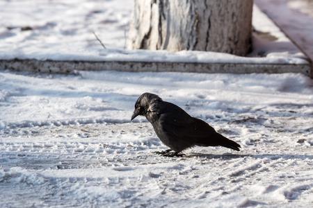 jasper: Common raven (Corvus corax). Wild life animal.