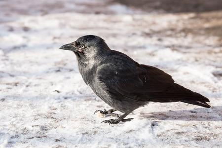 animalia: Common raven (Corvus corax). Wild life animal.