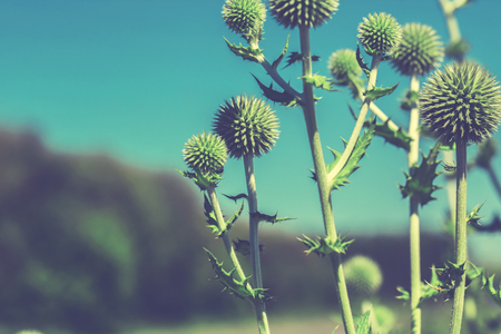 Thistle flower in bloom in summer morning. Cross processed.