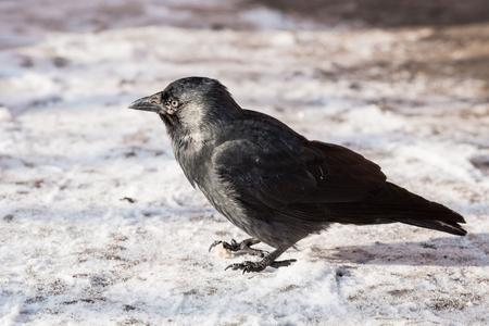 corax: Common raven (Corvus corax). Wild life animal.