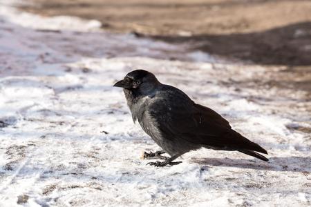 corvus: Common raven (Corvus corax). Wild life animal.