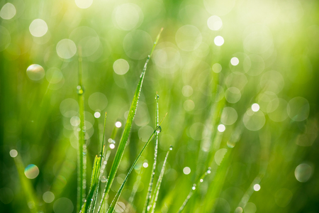 sunup: Fresh green grass with water drops on the background of sunlight beams. Soft focus