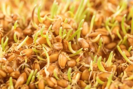 grain and cereal products: Close up of wheat germ background Stock Photo