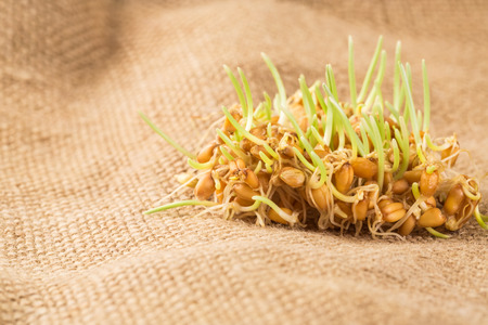 grain and cereal products: Handful of wheat germs on the burlap background Stock Photo