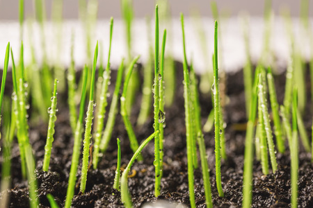 sharpness: photographed by a close up wheat sprouts. focus in the photo center. small sharpness Stock Photo