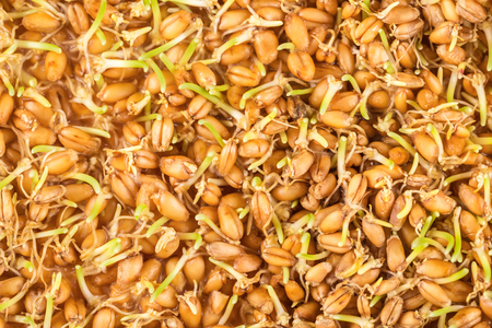 wheat: Close up of wheat germ background Stock Photo