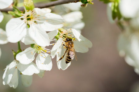 stamen wasp: Bee on a flower of the white cherry blossoms.