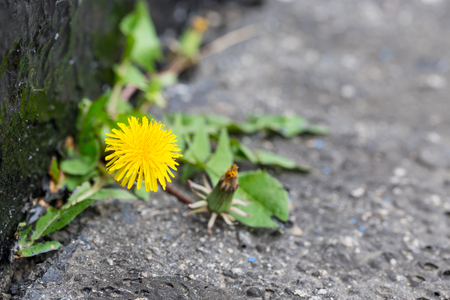 Dandelions on asphalt