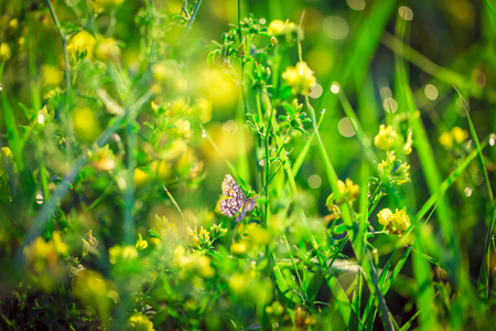 Butterfly with outstretched wings. Fresh green grass and yellow wildflowers with water drops on the background of sunlight beams. Soft focus