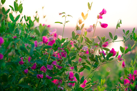 Beautiful landscape with the wilderness of herbs and pink wildflowers. The idea of the background of Mothers day, 8 March and World environment day. Soft focus