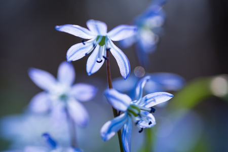 Early spring Blue Scilla (Squill) blossom background. Soft focus. Stock Photo