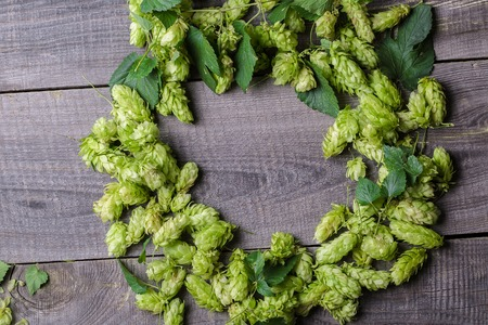 tendrils: Fresh green hops on a wooden table Stock Photo